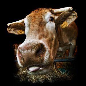 portrait-vache
